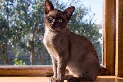 Burmese Kittens Kittens Cats
